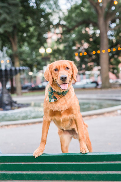 Red Golden Retriever standing on a bench wearing a Foggy Dog scarf