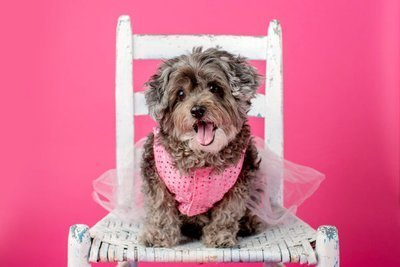 dog in white chair on pink background