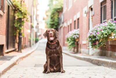 Chocolate Lab in Beacon Hill