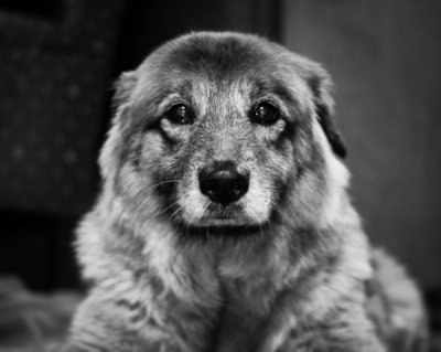beautiful senior dog looks intensely
