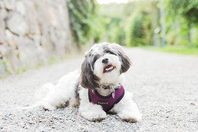 Shih Tzu laying down in Arnold Arboretum