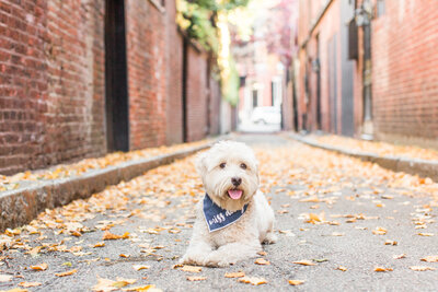 Toy Labradoodle laying in Beacon Hill