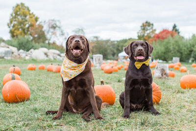 Two Chocolate Labs sitting in a pumpkin patch