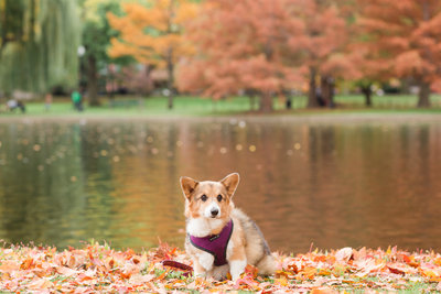 Corgi in Boston Public Garden in Fall