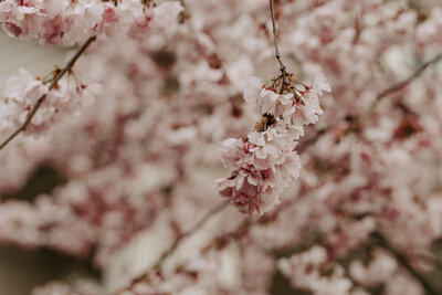 Kenzie-Tippe-Photography-Cherry-Blossoms-1