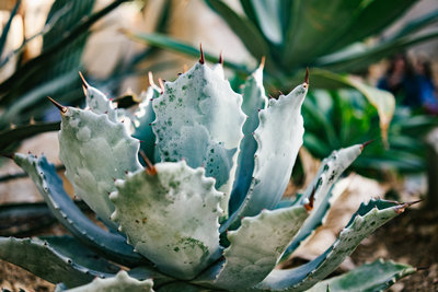 About San Antonio Photographer Expose The Heart Photography Irene Castillo and David Castillo succulent image