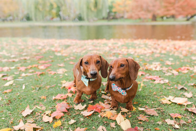 Two Dachshunds wearing bow ties in Boston Public Garden in fall