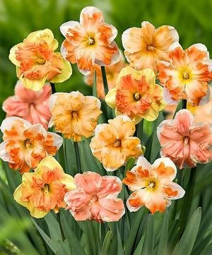 NARCISSUS BUTTERFLY MIX DOUBLE