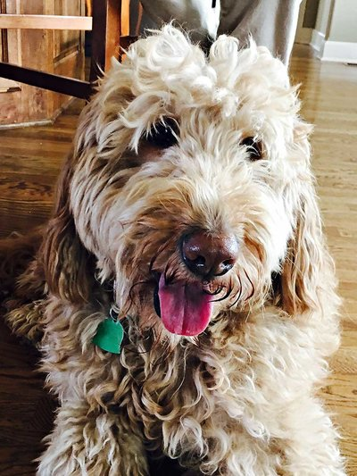 Buudy | My Cute Goldendoodle