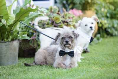 2 dogs dressed up in bow ties on their parents wedding day