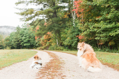 Pomeranian and Rough Collie