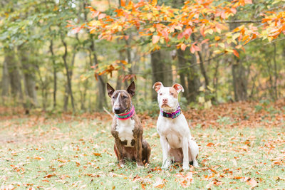 Bull Terrier and Pitbull in Fall