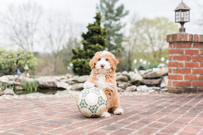 Brown mini bernedoodle sitting with soccerball