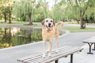 Lab/Shepherd mix standing on bench in Boston Public Garden