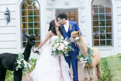 Bride and groom kiss while holding llamas on leashes