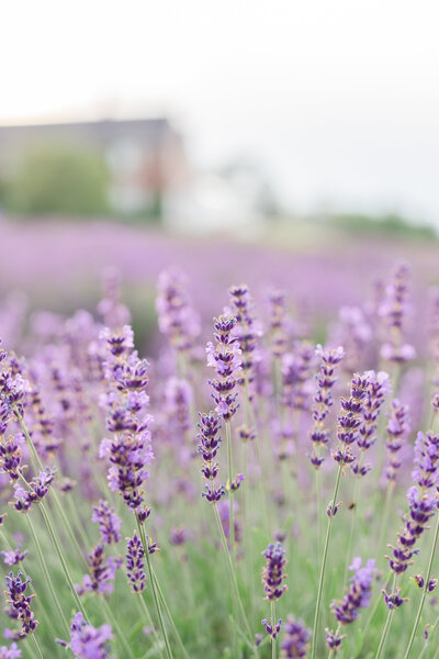 Lavender-Field-Session_Details-4