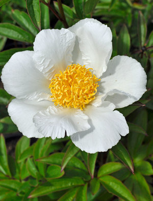 PEONY KRINKLED WHITE YELLOW CENTER
