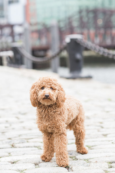 Fluffy goldendoodle dog