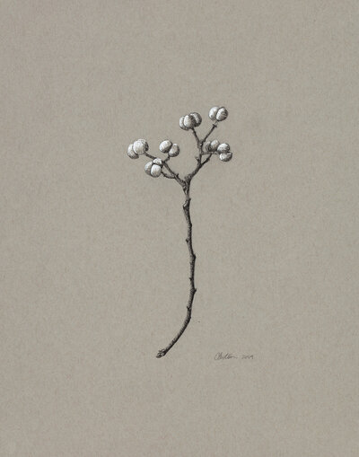 Clair gallery drawings _Tallow Berries_