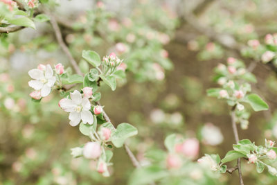 Apple Blossom Orchard - 3
