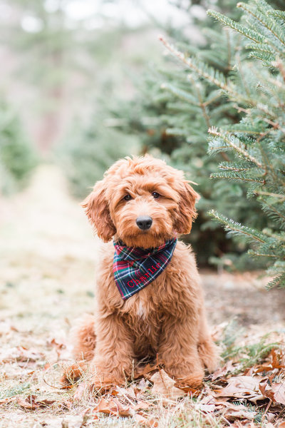 Mini Goldendoodle wearing a plaid scarf sitting in a Christmas Tree Farm