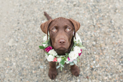 chocolate lab wearing flower crown