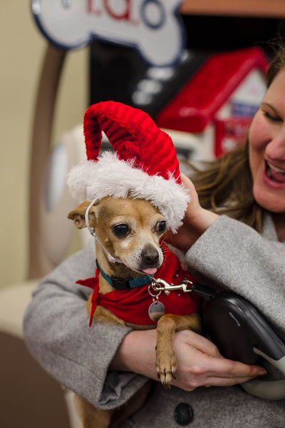 Chihuahua Dog Wearing a Santa Hat