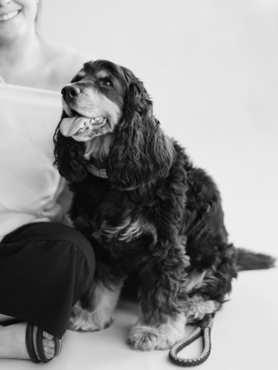 Jacqueline Anne Photography, Halifax Photographer's Cocker Spaniel captured in Black and White in Halifax Photography Studio