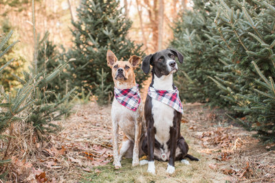 Two dogs in a Christmas Tree Farm wearing plaid scarves