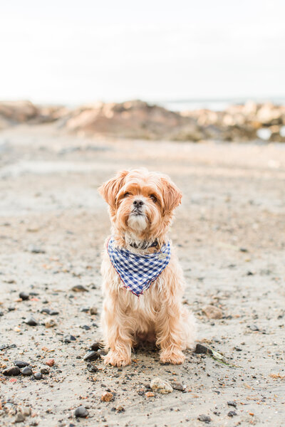yorkipoo wearing a bandana on the beach