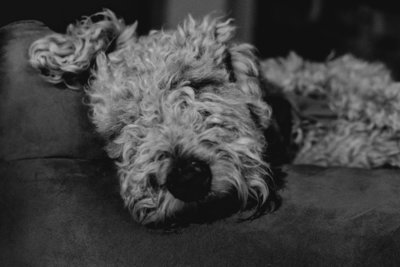 Vinson-Images-Fayetteville-Arkansas-NWA-Wedding-Photographer- charlie-the-welsh-terrier