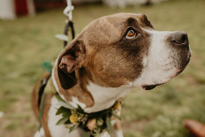 Dog looks lovingly upwards while wearing a wreath around its neck