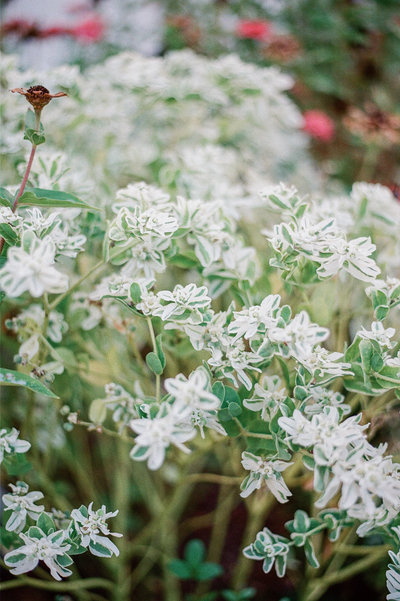film image of white flowers by Nashville Family Photographer Dolly DeLong Photography