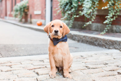 Fox Red Labrador Retriever sitting wearing a blue bow tie in Beacon Hill