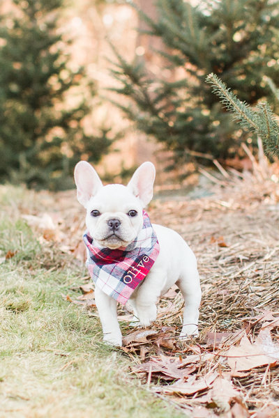 White French Bulldog puppy wearing a plaid scarf