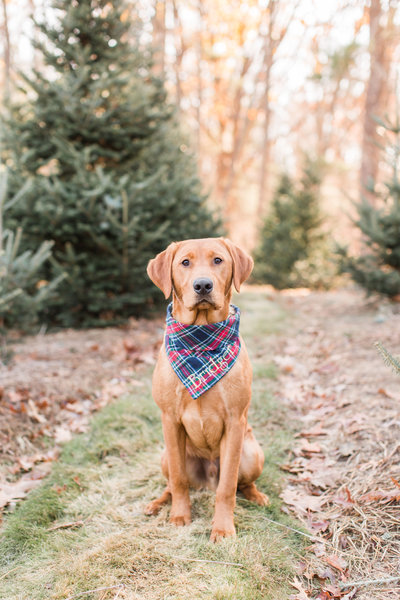 Fox Red Lab wearing a plaid Christmas scarf