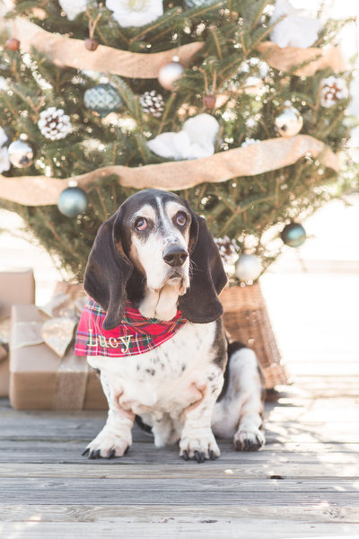 Bassett Hound wearing a plaid scarf