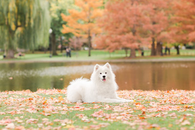 Samoyed laying in Boston Public Garden in Fall