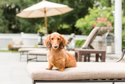 Dachshund sitting on pool bench
