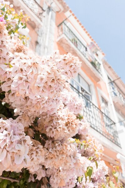 Pink blossoms on tree with pink building