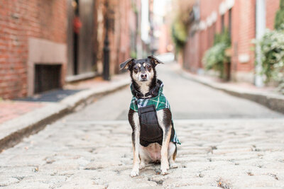 Rat Terrier Mix in Beacon Hill