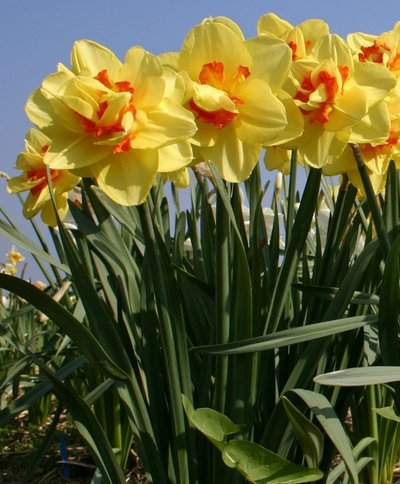 NARCISSUS TAHITI DOUBLE DO NOT HAVE CUP BUT FILLED CENTER