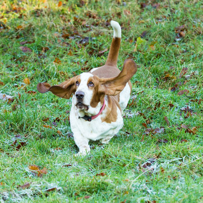 Bassett Hound mid run with ears flying