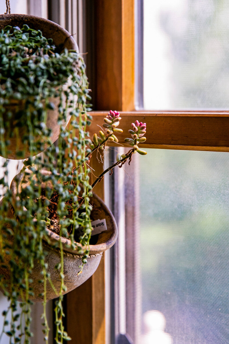 String of pearls plants draping from their hanging pots by a window