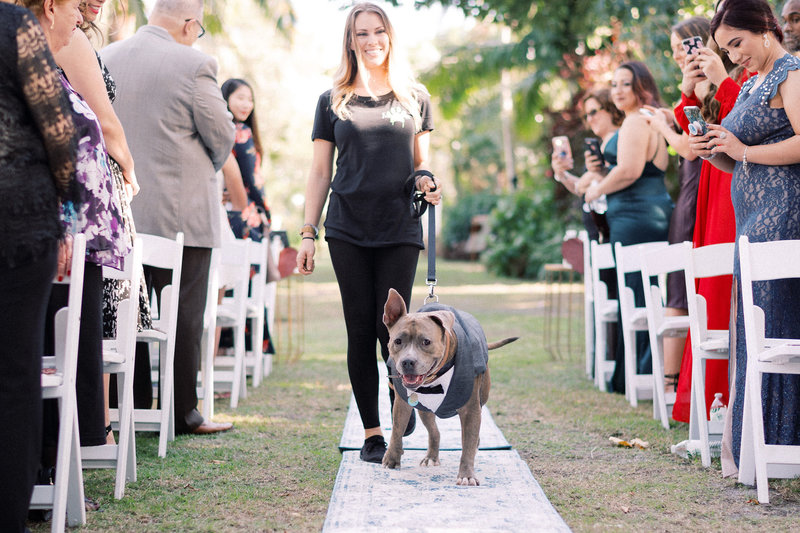 Pit_Bull_in_wedding_Furry_Ventures