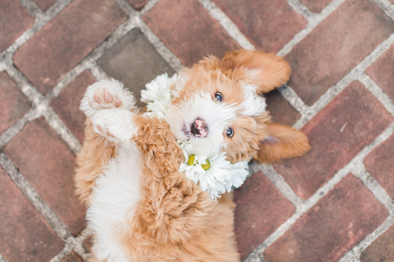 Brown Mini Bernedoodle wearing a flower collar