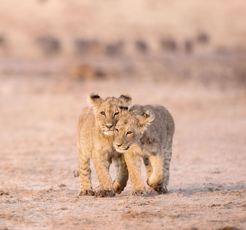 two lion cubs walking Africa - KC Abroad
