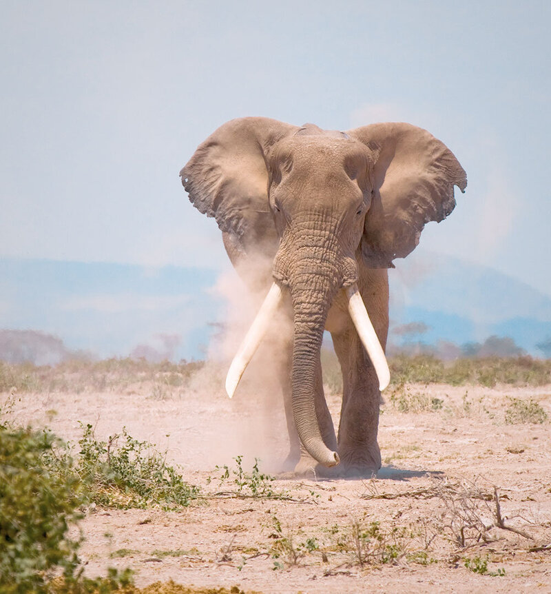 elephant walking on the savanna | KC Abroad