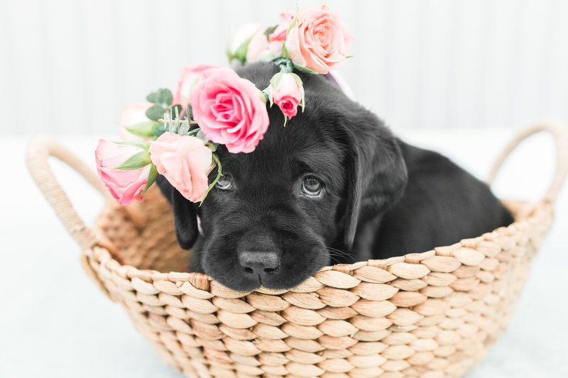 black lab puppy sitting in a basket