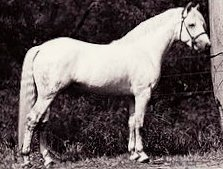 Purebred Connemara Pony Stallion Abbeyliex Finbar -bred in Ireland